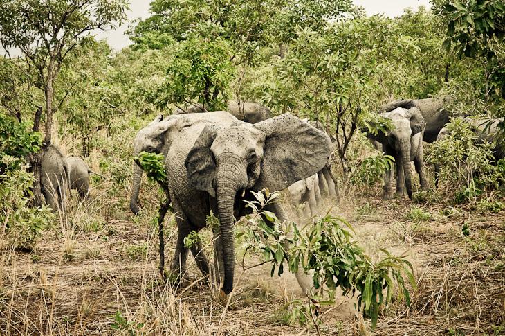 Elephant Charge ! – Burkina Faso